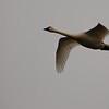 Tundra Swan III