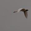 Tundra Swan II