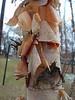 Pealing Birch