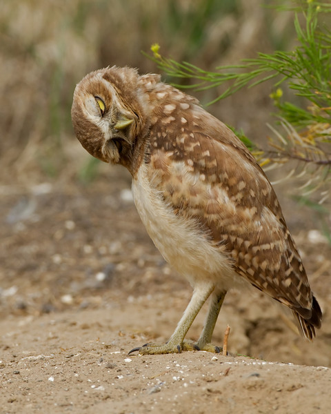 Burrowing Owl Blooper 22
