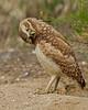 Burrowing Owl Blooper 22