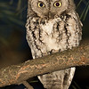 An eastern screech owl at night from Minneapolis, March, 2016.