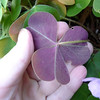 The leaves are purplish on the underside, like the California varieties of Oxalis oregana. The flowers, however, are larger than any O. oregana that I have seen.