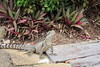2016-11-13 - Eastern Water Dragon - Mermaid Waters - Gold Coast