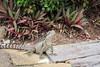 2016-11-13 - Eastern Water Dragon - Mermaid Waters - Gold Coast