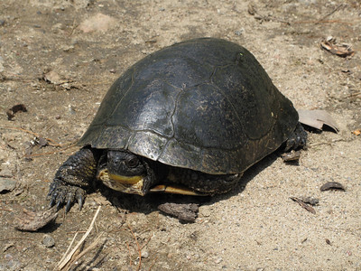 Blanding's turtle that was laying a clutch of eggs on our laneway.
