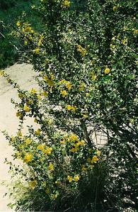 5/13/00 Flannel Bush, Fremontia (Fremontodendron californicum). Devil's Punchbowl Natural Area, San Gabriel Mountains, Los Angeles County, CA