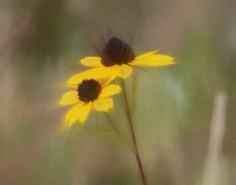Thin Leaved Coneflowers, also known as Brown Eyed-Susans.  A painted filter and texture applied to the image.