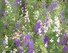 Larkspurs a la Van Gogh.  They were asking for it, and you knew I would give in.