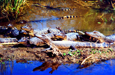 2 2 2014 alligators, Sabine NWR, LA, feb 18, 1994