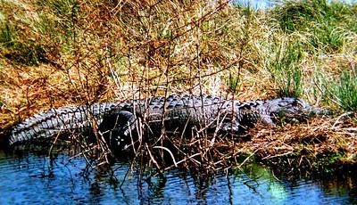 2 2 2014  Alligator, Sabine NWR, LA, feb 18, 1994a