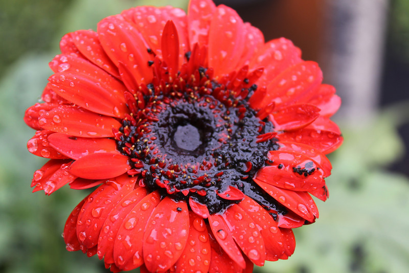 Check out the first Pacaya album for a before photo of this Gerber daisy.  It looks sort of sad this morning.  I wonder if the inch worm in the before picture drowned in the ash and rain?