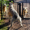 There's always a barking match if these guys see him passing their gate.<br /> <br /> 24/03/14