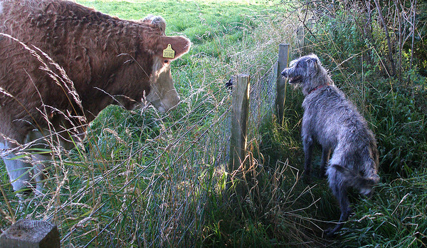He gets on well with cows, not so sure about bulls.<br /> <br /> 11/09/12