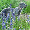 Padaidh in the bugloss.<br /> <br /> 20/06/16