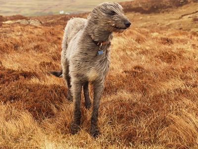Sleek on a windy Cruachan Treshnish on Mull.  25/03/16