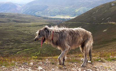 A weary pup on the way up Mullach Clach a'Bhlair.  7/07/13