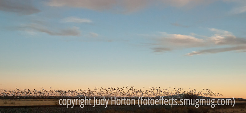 The evening flyout of the snow geese at Bosque del Apache National Wildlife Refuge; must be viewed in the largest sizes to see the detail of the birds.