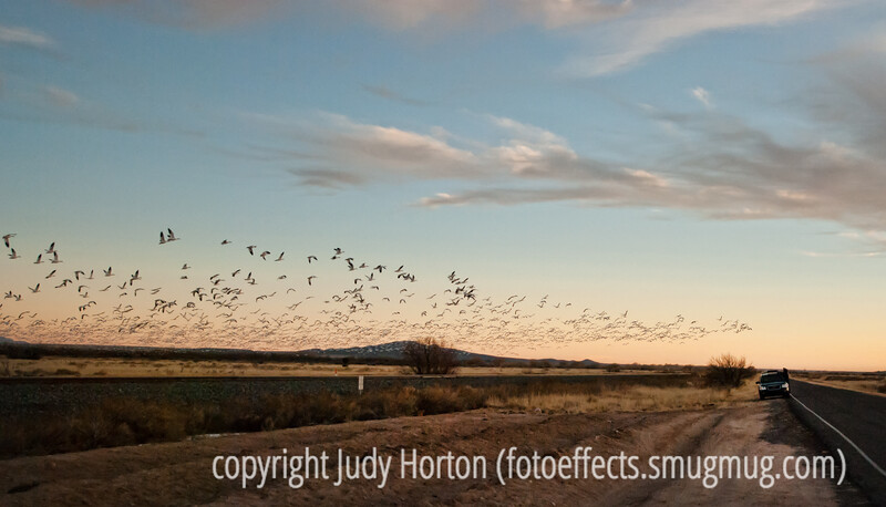 Evening flyout of the snow geese at Bosque del Apache National Wildlife Refuge in NM; needs to be viewed in the largest sizes to see the detail of the geese.