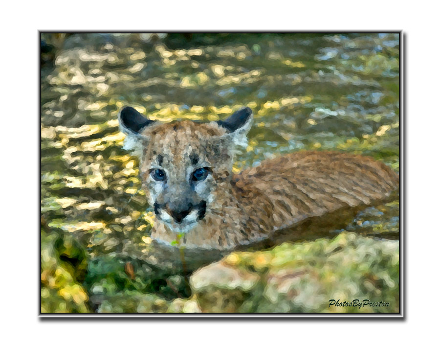 Lucy - Lowrey's Park Zoo newest Florida panther