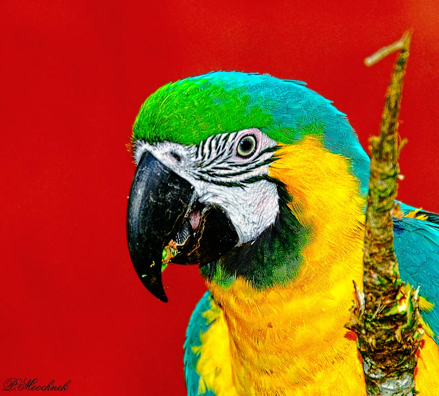 Macaw In Red