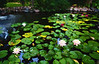 pond painting4122
