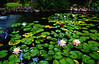 pond painting4122-2