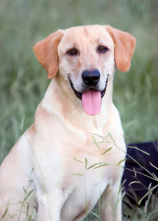 Yellow Lab Photo by Robin Simmons  Painting by Bobby Pritchett