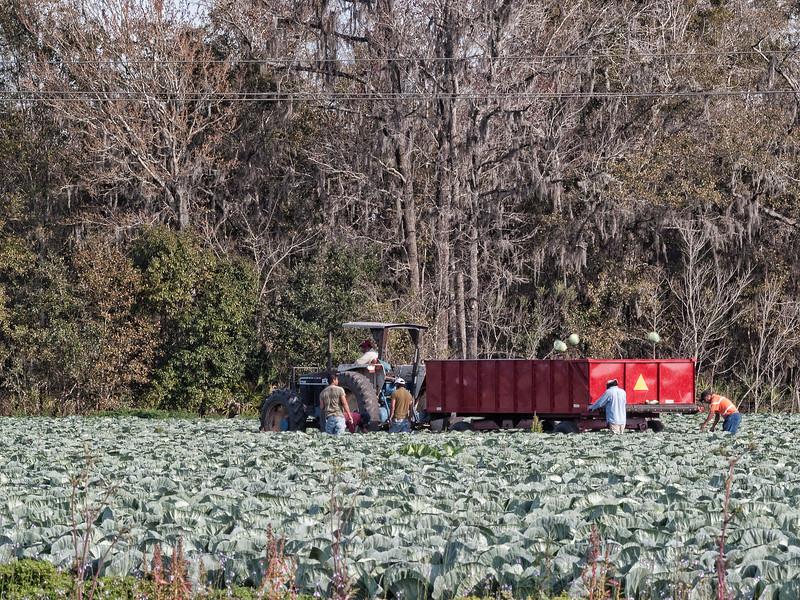 East Palatka Cabbage Farm