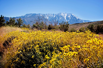 Wild flowers and snow on the mountain near White Water Preserve near Palm Springs.