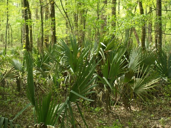 Palms growing in the woods at Gray Center