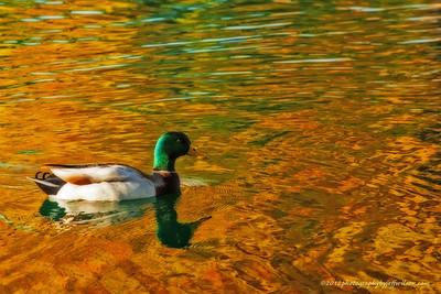 fall, lake,  pond, duck, mallard, fall colors, water, reflection