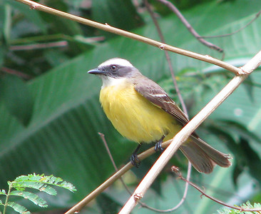 Social flycatcher at the window.