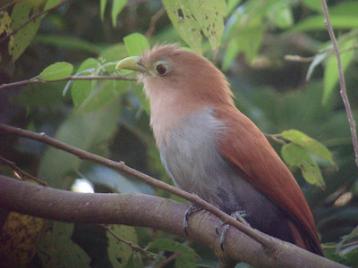 Squirrel Cuckoo with Pat's camera through the guide's scope.