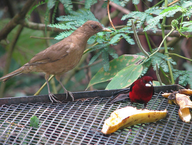 Clay-colored Thrush and Crimson-backed Tanager