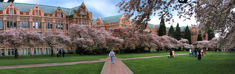 Cherry blossoms at the University of Washington, Seattle, WA