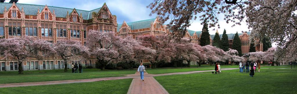 Cherry blossoms at the University of Washington, Seattle, WA