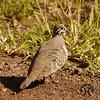 Pigeon, Squatter - P1150388