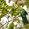 Pigeon, Wompoo - P1160285