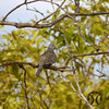Dove, Peaceful - P1150341