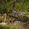 Dove, Peaceful - P1150922