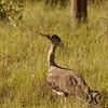 Bustard, Australian - P1150500