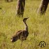 Bustard, Australian - P1150506