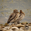 Duck, Australian Wood - P1150695