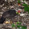 Brush-turkey, Australian - P1150872