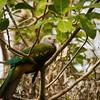 Pigeon, Wompoo - P1160261