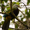 Pigeon, Wompoo - P1160279