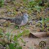 Dove, Peaceful - P1150926