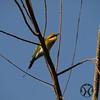 Bee-eater, Australian - P1150774
