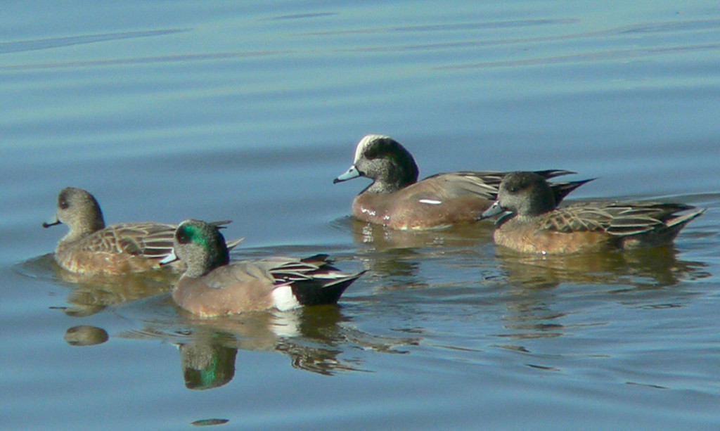 Mr. and Mrs. American Wigeons at the Salton Sea, Christmas Day, 2004.